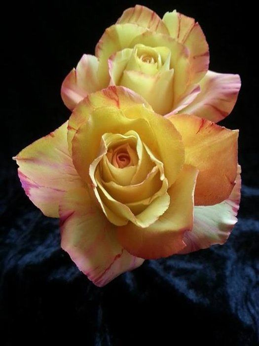 Best Online Sugar Flower Tutorials - Roses in sugar - Gumpaste or Gum Paste