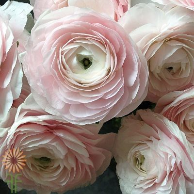 These Gumpaste Ranunculus Flower Tutorials are the best online sessions available to teach you how to make sugar flowers from scratch
